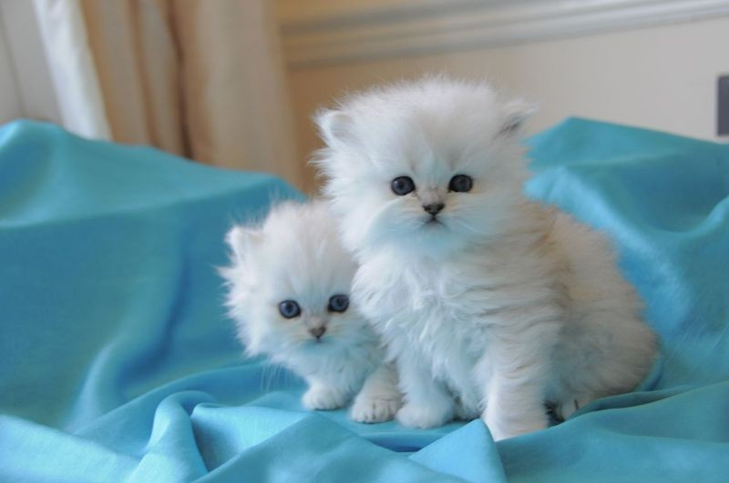 Twin Cats both with 2 eye colour for Sale