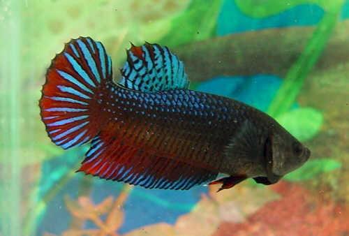 Ikan Laga Betta Fish