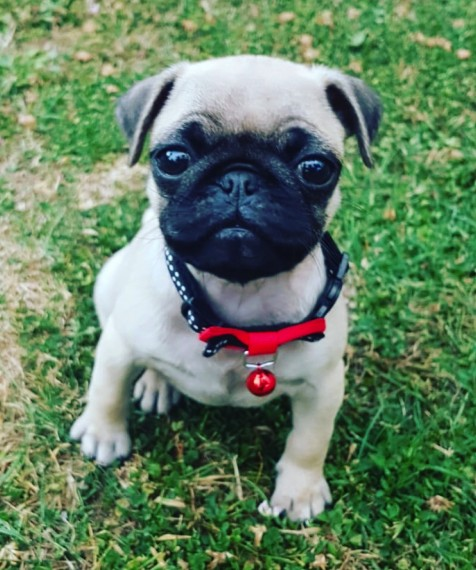 Pug puppies available male and female