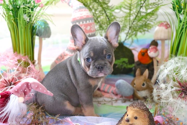 Well trained French bulldog puppies ready for re-homing